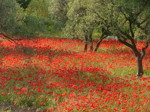 Poppies and olive trees, some of the signature foliage of Provence.